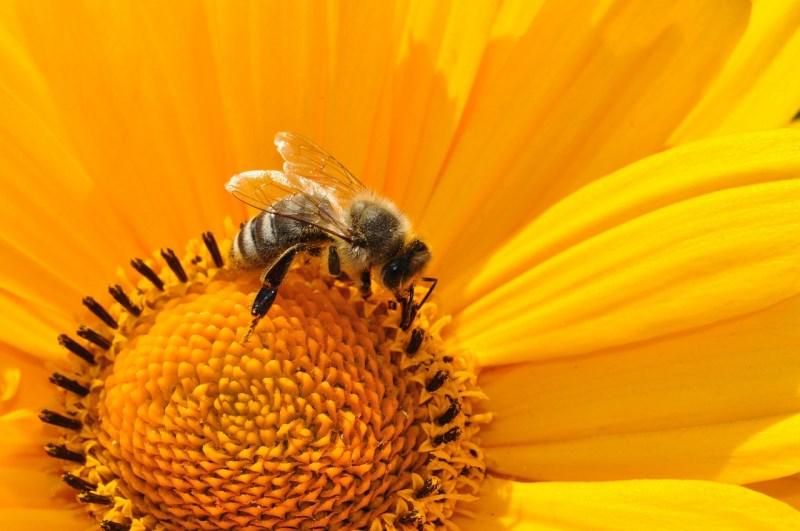 Manuka-Honig-Biene-Nebenwirkungen