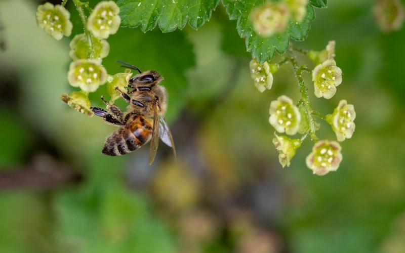 Manuka Honig Biene im Wald