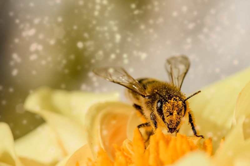 manuka honig biene